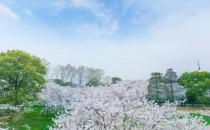 春色武汉--东湖磨山樱园-赏樱